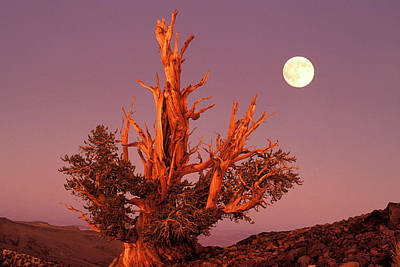 Bristlecone Photograph - Usa, California, Inyo National Forest by Jaynes Gallery