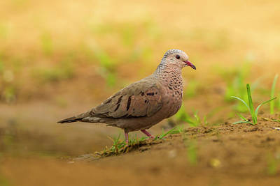 Mourning Dove Photograph - Usa, Texas, Hidalgo County by Jaynes Gallery