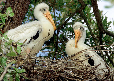 Photograph - Wood Storks by Millard H. Sharp