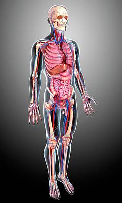 Male Anatomy Art Print by Pixologicstudio/science Photo Library