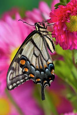Blue Swallowtail Photograph - Eastern Tiger Swallowtail Butterfly by Darrell Gulin