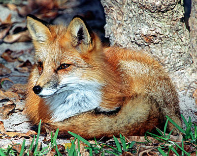 Photograph - Red Fox by Millard H. Sharp