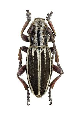 Longhorn Photograph - Longhorn Beetle by F. Martinez Clavel