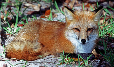 Photograph - Red Fox by Millard H. Sharp