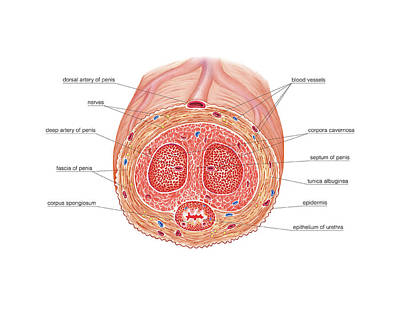 Penis Photograph - Male Genital System by Asklepios Medical Atlas
