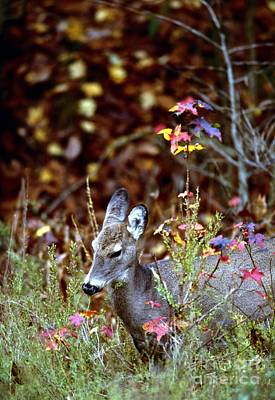 Art Print featuring the photograph White-tailed Deer by Jack R Brock