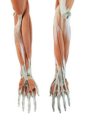 Human Arm Muscles Art Print by Sciepro