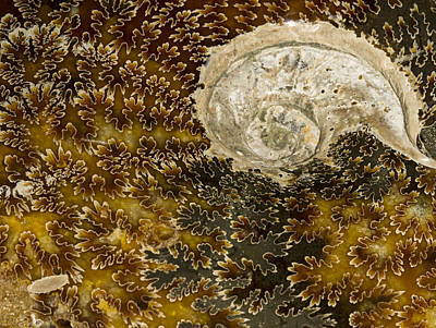 Photograph - Ammonite Closeup by Jean Noren