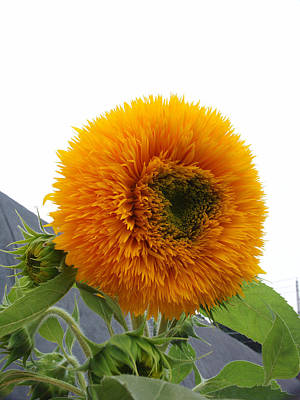Photograph - Sunflower by Bonnie Sue Rauch