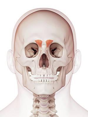 Human Facial Muscles Art Print by Sebastian Kaulitzki/science Photo Library