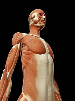 Human Muscular System Art Print by Sebastian Kaulitzki
