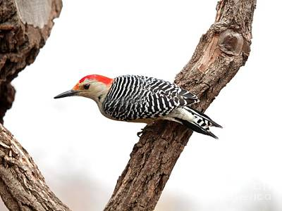 Photograph - Red-bellied Woodpecker by Jack R Brock