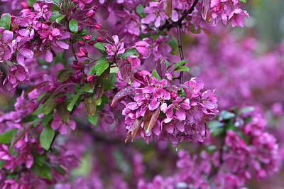 Cherry Blossoms Photograph - Usa, Pennsylvania by Jaynes Gallery