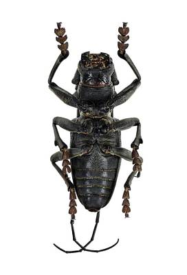Ventral View Photograph - Longhorn Beetle by F. Martinez Clavel