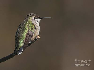 Photograph - Ruby-throated Hummingbird by Jack R Brock