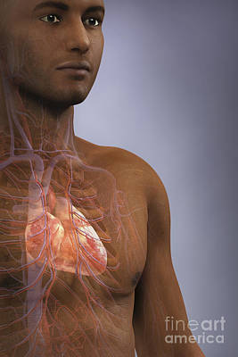 Male Organ Photograph - The Cardiovascular System by Science Picture Co