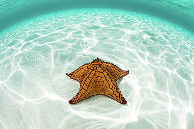 Under The Moon Wall Art - Photograph - A West Indian Starfish Crawls by Ethan Daniels