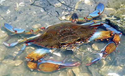 Photograph - Adult Male Blue Crab by Millard H Sharp