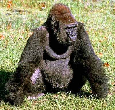 Gorilla Photograph - Adult Male Western Lowland Gorilla by Millard H. Sharp