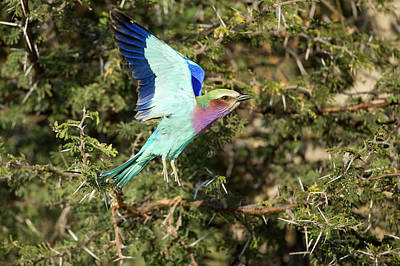Lilac Roller Photograph - Africa, Botswana, Moremi Game Reserve by Paul Souders