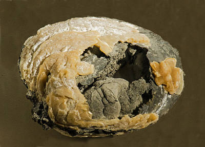 Photograph - Agatized Fossil Clam by Millard H. Sharp