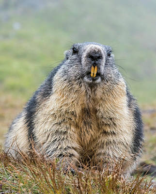 Josef Photograph - Alpine Marmot (marmota Marmota by Martin Zwick