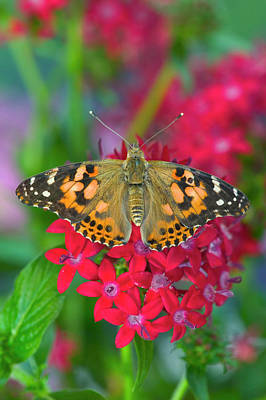 Painted Lady Photograph - American Painted Lady Butterfly by Darrell Gulin