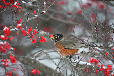 American Robin Photograph - American Robin (turdus Migratorius by Richard and Susan Day