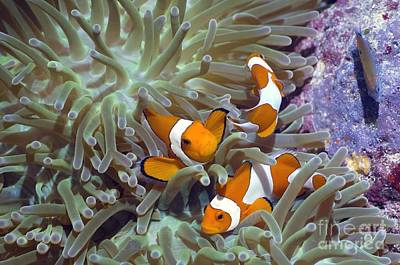 Clown Fish Photograph - Anemonefish In Anemone by Georgette Douwma