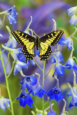 Darrell Gulin Photograph - Anise Swallowtail Butterfly, Papilio by Darrell Gulin
