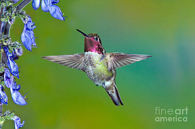 Nectaring Bird Photograph - Annas Hummingbird by Anthony Mercieca