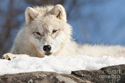 Arctic Wolf Pup Print by Wolves Only