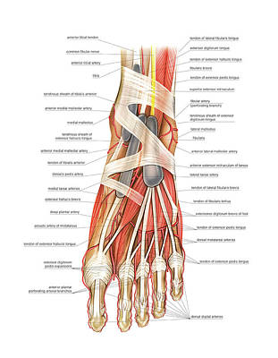 Arterial System Of The Foot Print by Asklepios Medical Atlas
