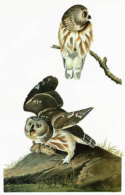 Aegolius Acadicus Painting - Audubon Owl by Granger