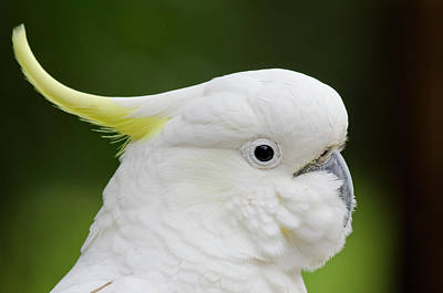 Cockatoo Photograph - Australia, Dandenong Ranges by Cindy Miller Hopkins