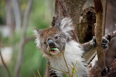 Marsupial Photograph - Australia, Perth, Yanchep National Park by Cindy Miller Hopkins