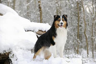 Dog In Snow Photograph - Australian Shepherd Dog by John Daniels