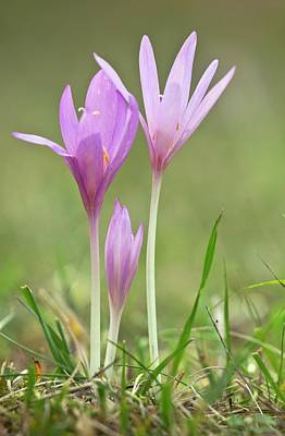 Trio Photograph - Autumn Crocus (colchicum Autumnale) by Bob Gibbons