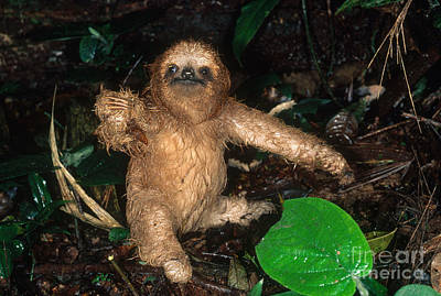 Baby Three-toed Sloth Art Print by Gregory G. Dimijian, M.D.