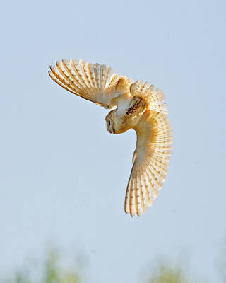 Photograph - Barn Owl by Paul Scoullar