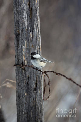 Chickadee Photograph - Black-capped Chickadee Poecile by Linda Freshwaters Arndt