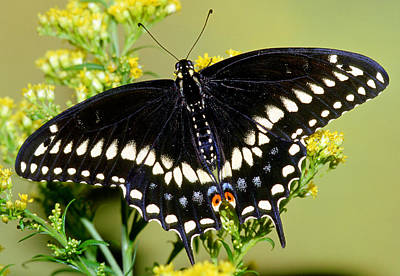 Photograph - Black Swallowtail Butterfly by Millard H. Sharp