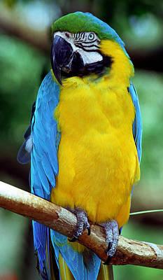 Photograph - Blue And Yellow Macaw by Millard H. Sharp