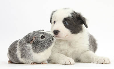 House Pet Photograph - Border Collie Pup And Guinea Pig by Mark Taylor