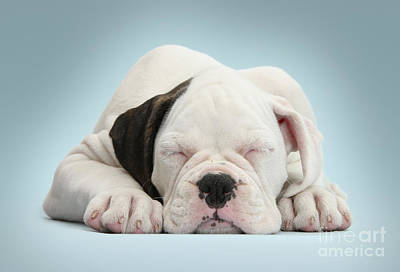 Boxer Puppy Art Print by Mark Taylor