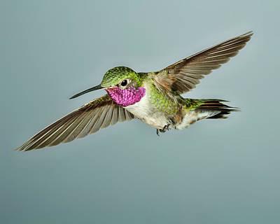 Hummer Photograph - Broadtail Hummingbird by Gregory Scott