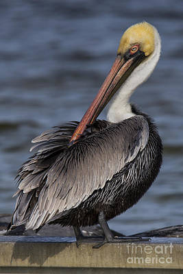 Brown Pelican Art Print by Twenty Two North Photography