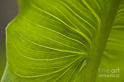 Photograph - Calla Lily Stem Close Up by Jim Corwin