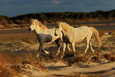Grace Photograph - Camargue Horse On Beach At Sunrise by Adam Jones