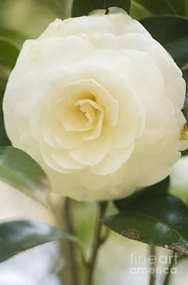Camellia Photograph - Camellia Japonica by Maria Mosolova